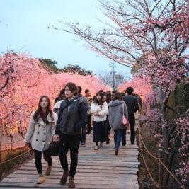 Kirsikankukkia, jonottamista ja kylmiä asuntoja – tervetuloa Japaniin!
